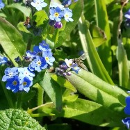 Forget_ME-Not_HoverFly_2020